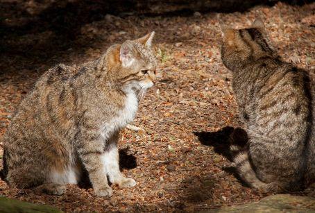 1280px-wild_cats_5697030202