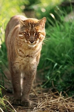 asian-golden-cat