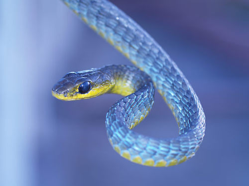 green tree snake in blue phase