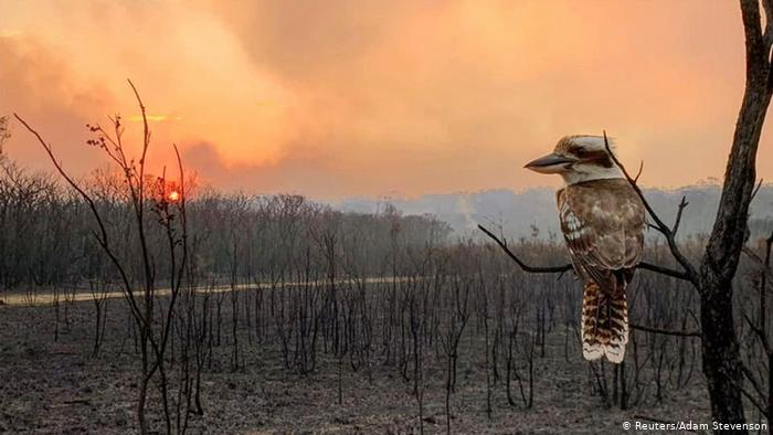 kookaburra in burnt land